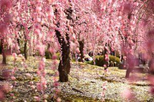 Periodo fioritura ciliegi Giappone