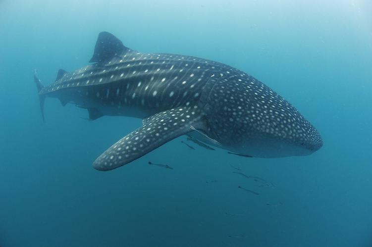Squali balena della Baia di Donsol