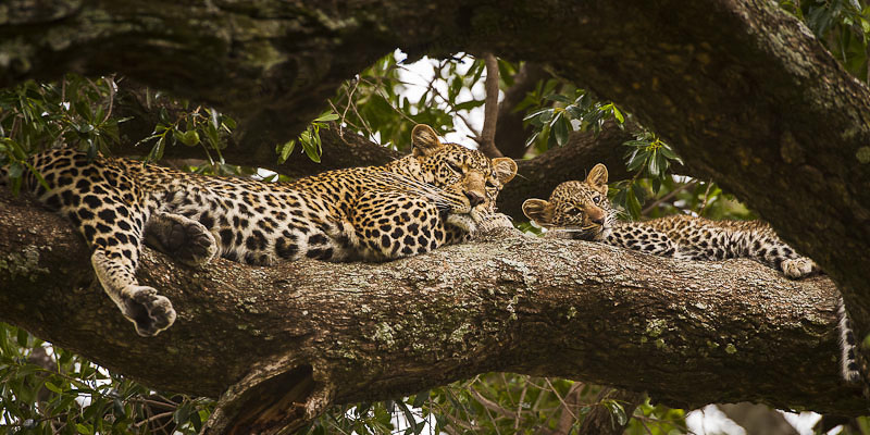Leopardi al Masai Mara