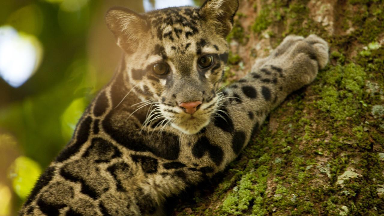 Leopardo nebuloso del Borneo