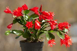 zygocactus-cactus-natale