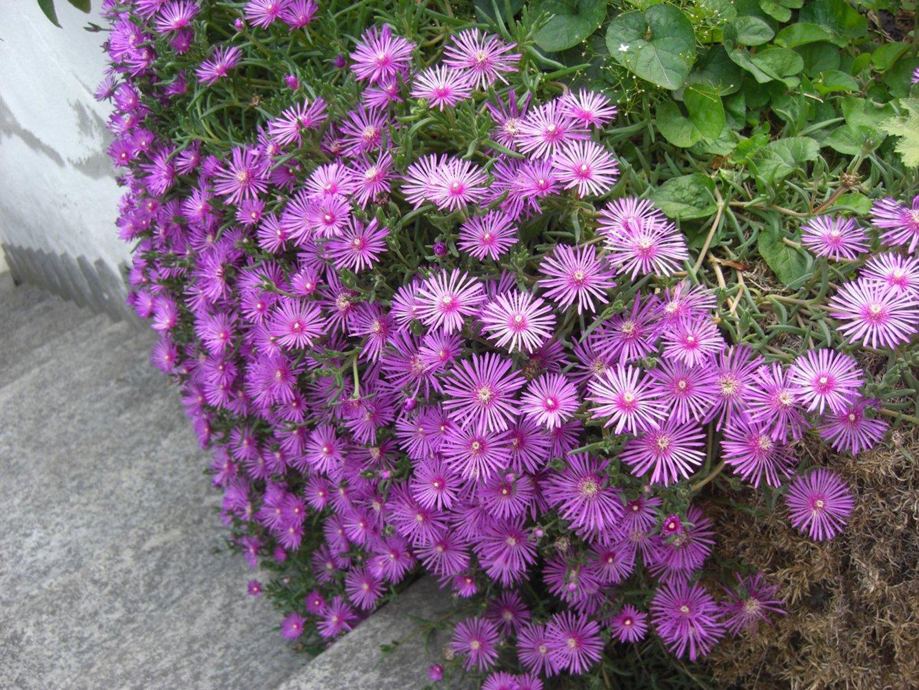 fiori a cascata perenni